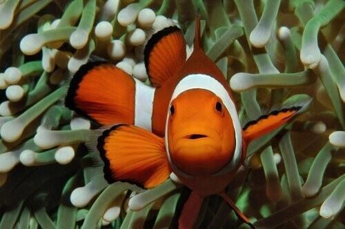 Warum sind Clownfische orange?