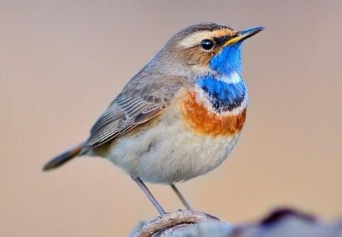 Das Blaukehlchen: Eigenschaften dieses wundervollen Vogels