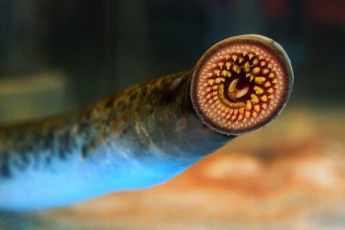 Das Meerneunauge: Lebensraum und Morphologie