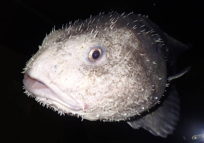 blobfisch im wasser