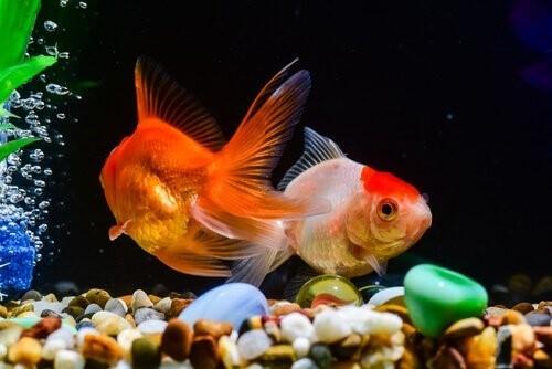 Goldfisch-Aquarium