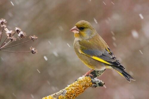 Grünfink: Eigenschaften, Verhalten und Lebensraum