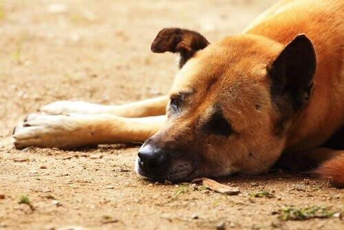 Hundestaupe - kranker Hund
