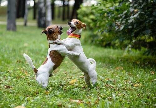 Begrüßung unter zwei Hunden