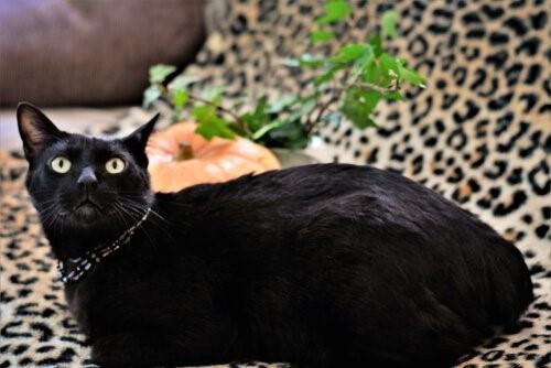 Katze-schwarz