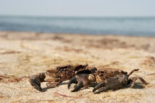 Unterschiede zwischen Krabben und Krebsen
