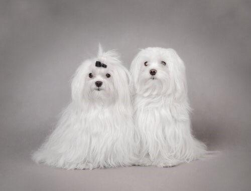 Malteser-Hunde