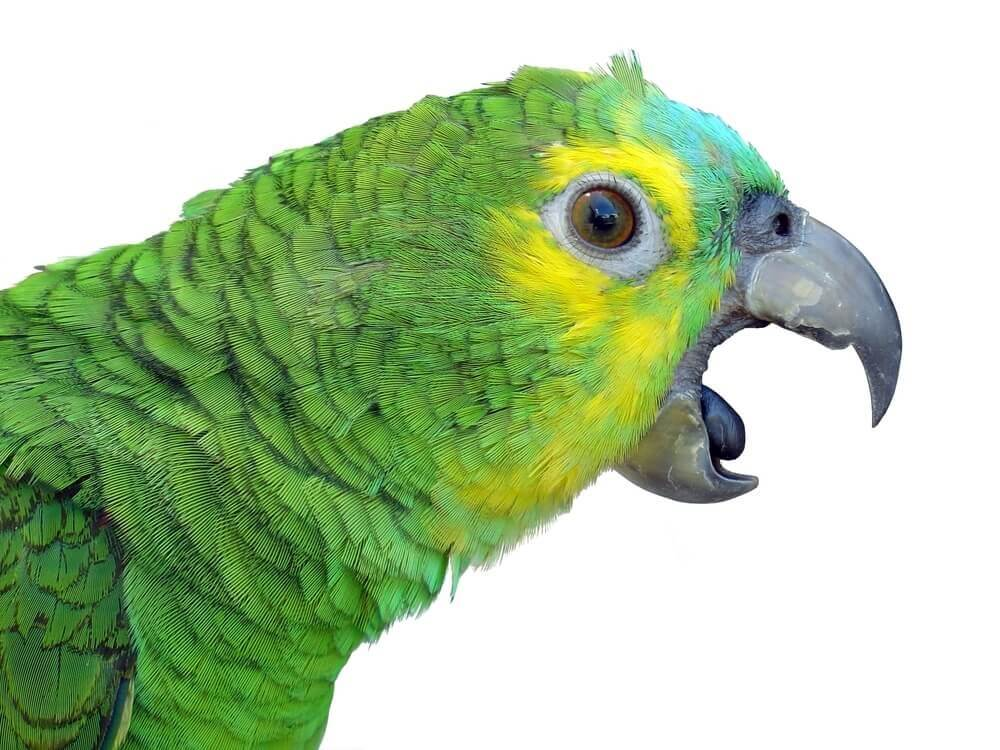 Papagei-grün