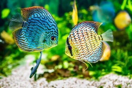 Samtkrankheit bei Fischen