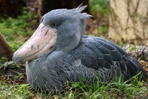 Schuhschnabel-Vogel