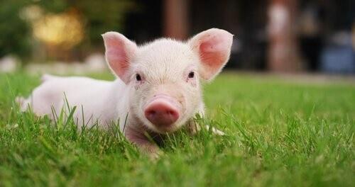 Die Domestizierung der Schweine