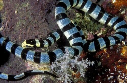Seeschlange, eine der giftigsten Schlangen der Welt