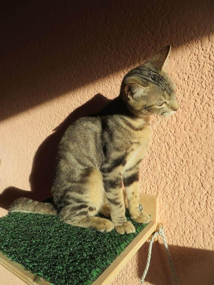Sokoke-Katze