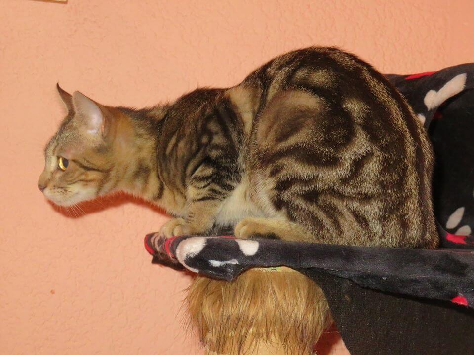 Lerne die Sokoke, eine afrikanische Katze kennen