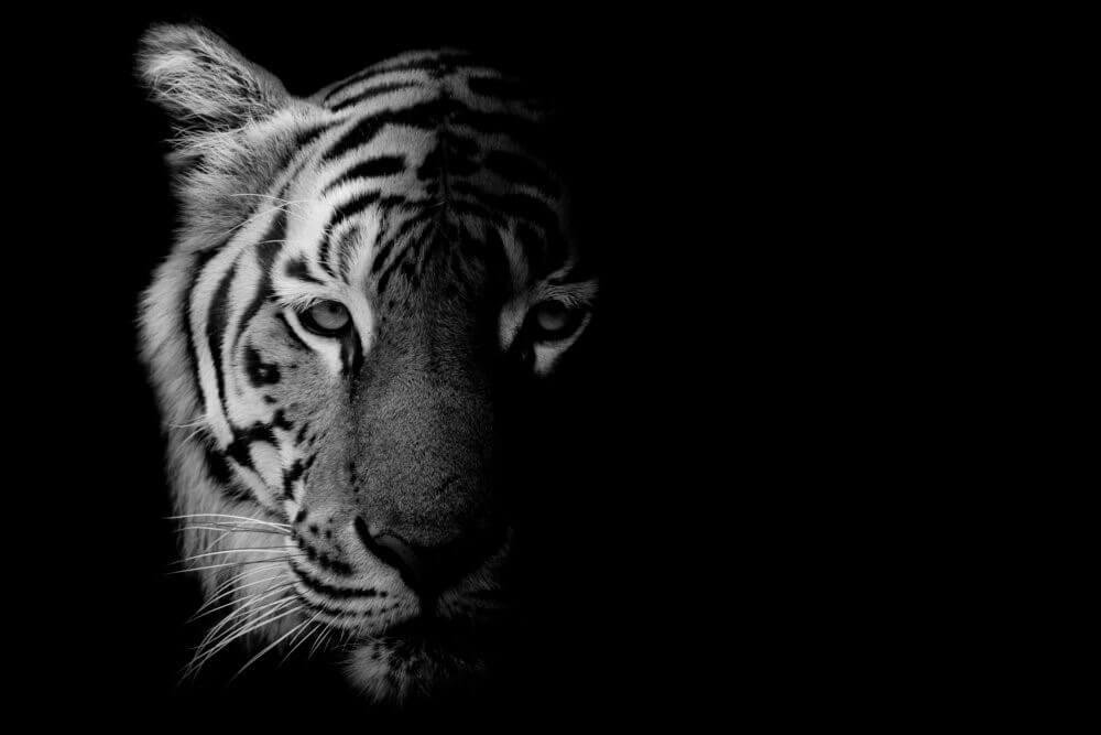 Tiger-schwarz-weiss
