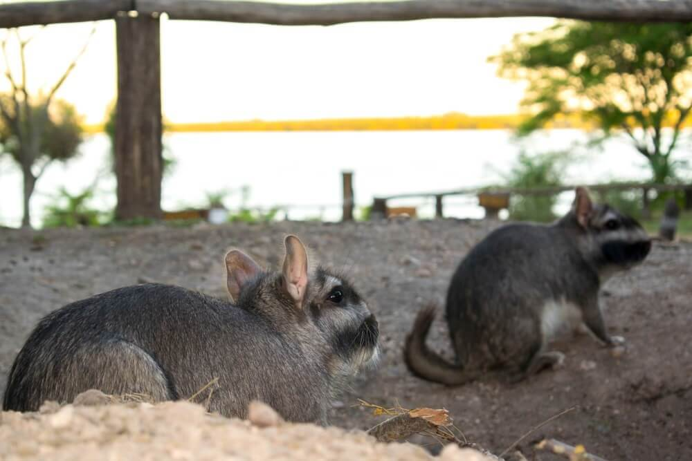 Viscacha-draussen
