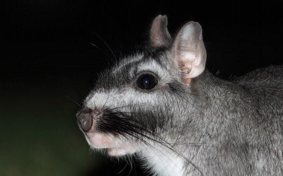 Viscacha: südamerikanische Nagetiere