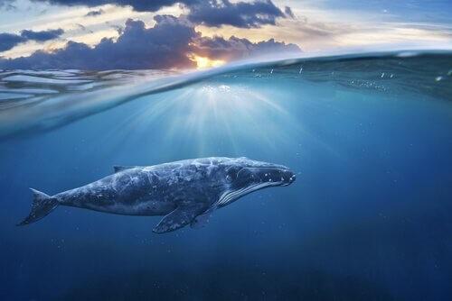Der Stress der Wale im Zweiten Weltkrieg