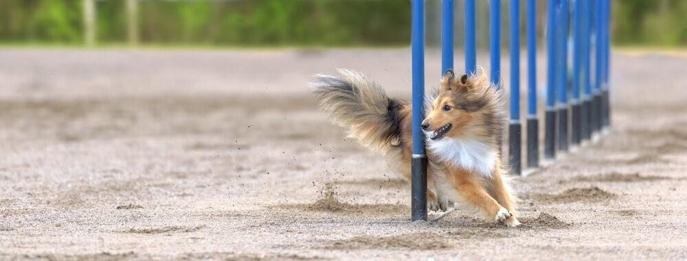 Wettbewerb-Hund