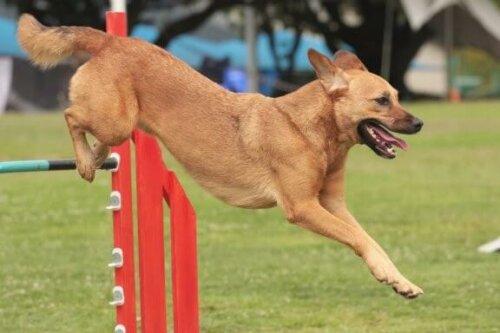 Hunde-Wettbewerb: Tipps für die richtige Vorbereitung