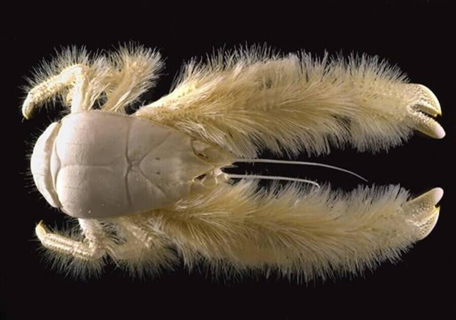 Yeti-Krabbe