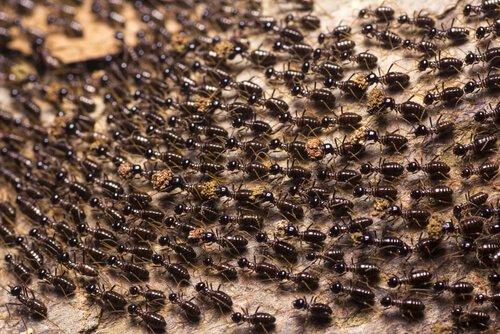 Ameisen leben in Kolonien
