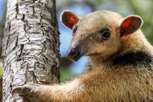Ameisenbär: alles, was du über diese Tierart wissen musst!