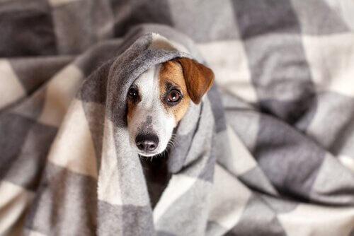 Coronavirus bei Hunden: Behandlung und Symptome