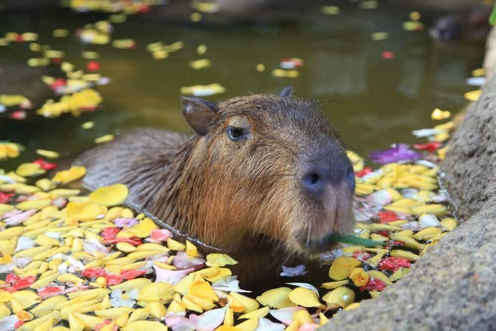 Das Capybara im Wasser