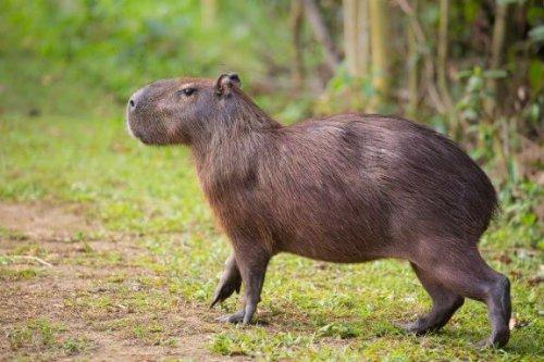 Das Capybara: Wissenswertes und Kuriositäten