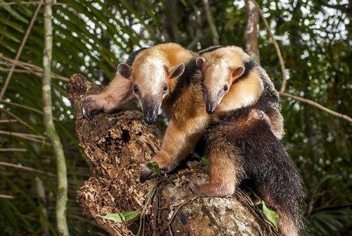 Der Lebensraum des Ameisenbären