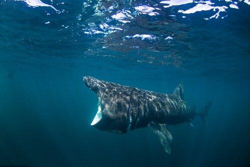 Der Riesenhai auf Nahrungssuche