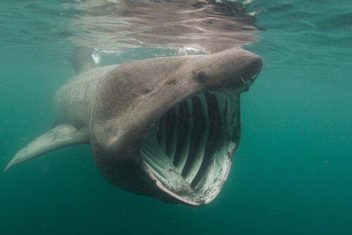 Der Riesenhai: Lebensraum und Eigenschaften