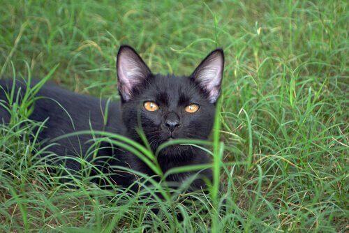 Die liebevollsten Katzenrassen: Bombay-Katze
