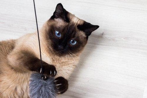 Die liebevollsten Katzenrassen: Siamkatze