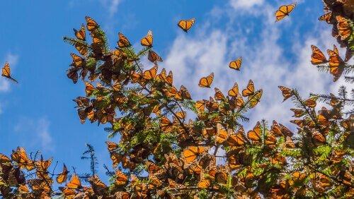 Die Reise de Monarchfalters