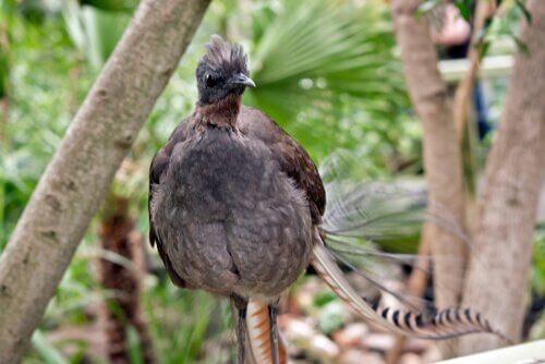 Ein Singvogel aus Australien