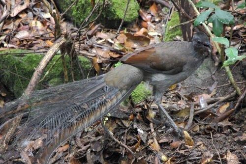 Graurücken-Leierschwanz: ein überraschender Singvogel