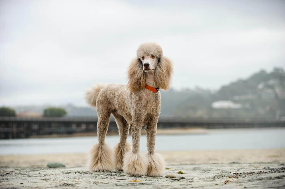 Hundefrisuren: Pudelschnitt