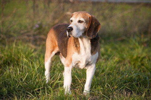Jagdhundrasse: English Foxhound