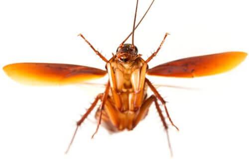 Kakerlake im Flug