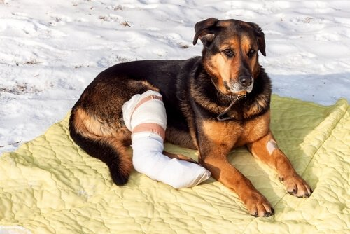 Knochenbruch ist eine Konsequenz von Unfällen bei Haustieren
