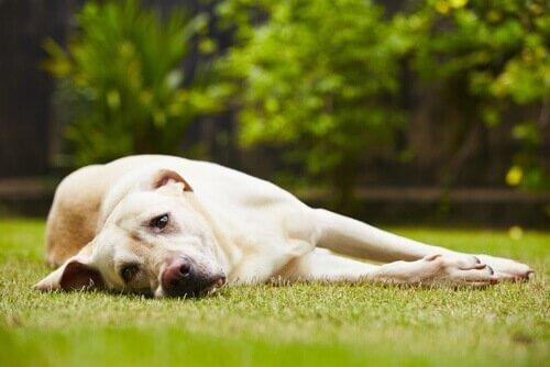 liegender-Hund