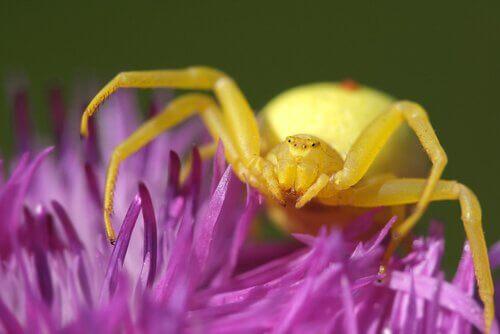 Spinnen mit einem Lächeln: Misumena Vatia Spinne