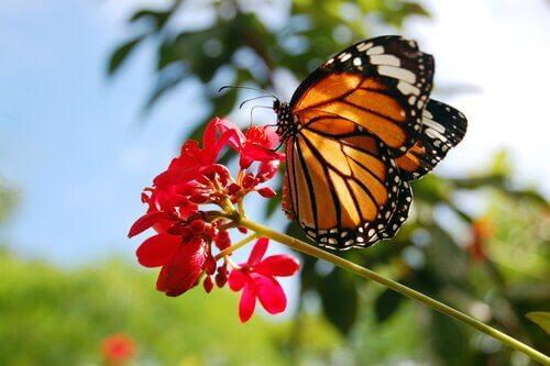 Der Monarchfalter und seine unglaubliche Odyssee