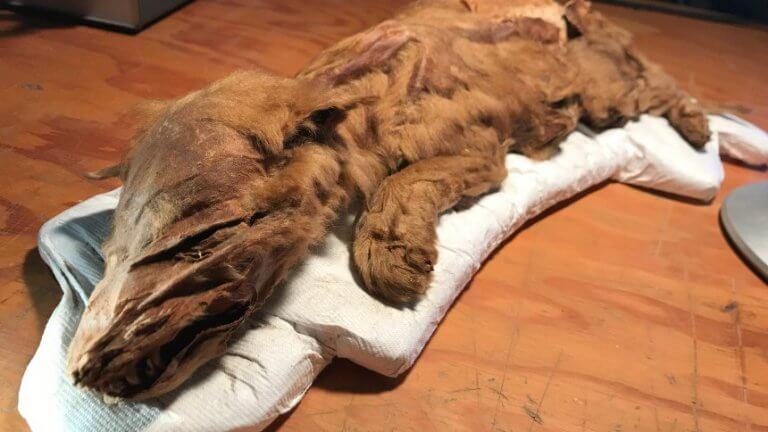 Mumie eines Wolfswelpen in Kanada entdeckt