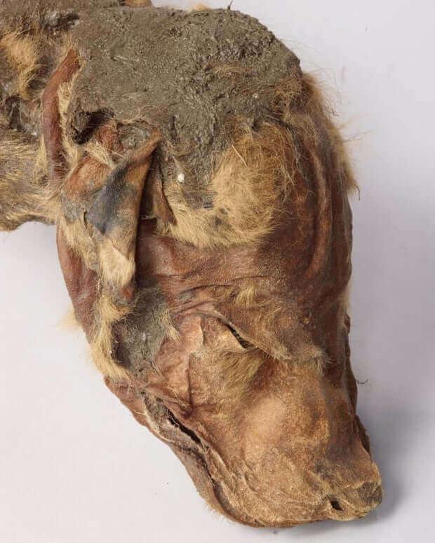 Mumie eines Wolfswelpen perfekt erhalten