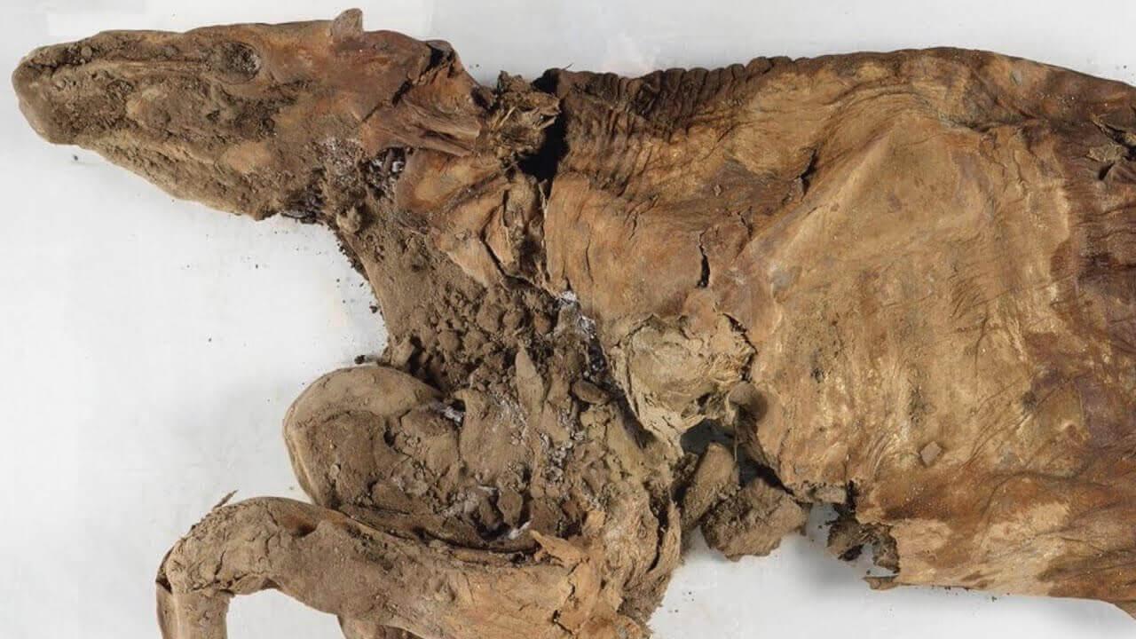 Mumie eines Wolfswelpen und eines Karibus entdeckt