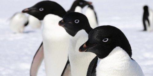 Pinguinfriedhof der Adeliepinguine