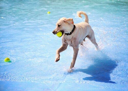 Poolspiele für Hunde - Ball spielen